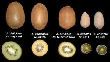 Types and Benefits Of Kiwi Fruit